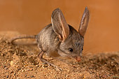 Long-eared jerboa (Euchoreutes naso) froze on the sand, inspects the area for danger. Original country: Mongolia