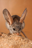 Long-eared jerboa (Euchoreutes naso) explores the area, he's helped by the vibrissas. Original country: Mongolia