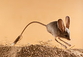 Long-eared jerboa (Euchoreutes naso) jumps on the sand. Original country: Mongolia