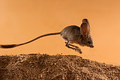 Long-eared jerboa (Euchoreutes naso) jumping on the sand. Original country: Mongolia