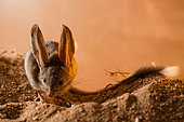 Long-eared jerboa (Euchoreutes naso) sitting on the sand. Original country: Mongolia