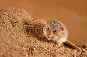 Five-toed pygmy jerboa (Cardiocranius paradoxus) is sitting on the sand, inspects the area for danger. Original country: Mongolia