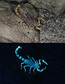 Fluorescent scorpion. Buthus occitanus, European scorpion, photographed with visible light (above) and under ultraviolete light (bellow). Portugal