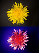 Dandelion flower. Above photographed with daylight and bellow showing fluorescent colours when photographed under ultraviolet light with a Baader-U Filter. This filter enables imaging in the deep UV spectral region. Some flowers have patterns that are only visible under ultraviolet light. Those surprising patterns can only be seen by the insects. While pollinating insects can see these patterns perfectly to find the nectar and pollen, the human eye cannot without some help of special photography. Portugal