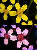 Yellow flowers. Above photographed with daylight and bellow showing fluorescent colours when photographed under ultraviolet light with a Baader-U Filter. This filter enables imaging in the deep UV spectral region. Some flowers have patterns that are only visible under ultraviolet light. Those surprising patterns can only be seen by the insects. While pollinating insects can see these patterns perfectly to find the nectar and pollen, the human eye cannot without some help of special photography. Portugal