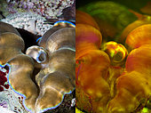 Southern giant clam, Tridacna derasa. Left photographed with daylight and right showing fluorescent colours photographed under special blue or ultraviolet light and filter. Many animals are intensely fluorescent under certain light wavelengths. Shallow water reef-building fluorescent corals seem to be more resistant to coral bleaching than other corals, and the higher the density of fluorescent pigments, the more likely to resist. This enables them to better protect the zooxanthellae that help sustain them. The pigments that fluoresce are photoproteins, and a current theory is that this acts as a type of sunscreen that prevents too much UV light damaging the zooxanthallae. These corals have the photoproteins above the zooxanthallae to protect them. Corals that grow in deeper water, where light is scarce, are using fluorescence to absorb UV light and reflect it back to the zooxanthallae to give them more light to turn into nutrients. These corals have the photoproteins below the zooxanthallae to reflect it back. Photographed in aquarium. Portugal