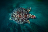 Green turtle (Chelonia mydas) swimming in the lagoon, Mayotte