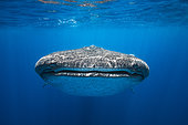 Portrait of Whale Shark (Rhincodon typus), Nosy Be, Madagascar