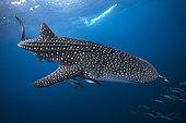 Requin baleine (Rhincodon typus) plongeant dans le bleu profond pour suivre un banc de poisson qui le mènera à sa nourriture : le plancton. Nosy be, Madagascar