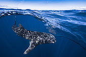 Whale shark (Rhincodon typus) under the surface, Nosy Be, Madagascar
