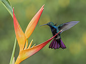 Black-throated Mango (Anthracothorax nigricollis) perching on heliconia flower, Cauca Valley, Colombia.