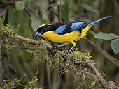 Blue-winged Mountain Tanager (Anisognathus somptuosus), Colombia, December
