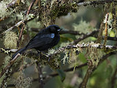 Glossy Flowerpiercer (Diglossa lafresnayii), on montane forest, Parque Nacional Los Nevados, Colombia, December