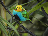 Multicolored Tanager (Chlorochrysa nitidissima), male, Cauca Valley, Colombia