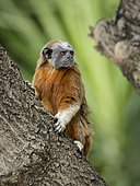White-handed tamarin (Saguinus leucopus), Colombia, October