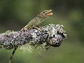 Anole lizard (Anolis huilae), Tolima, Colombia