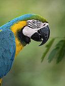 Blue-and-yellow Macaw (Ara ararauna), closeup portrait, Antioquia, Colombia, March