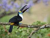Cuvier's toucan (Ramphastos cuvieri), feeding on papaya fruit, Antioquia, Colombia, March