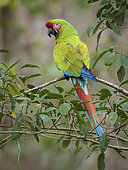 Military Macaw (Ara militaris), Colombia, March