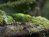 Multicolored tanager (Chlorochrysa nitidissima), female, Cauca Valley, Colombia, February
