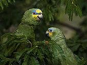 Orange-winged amazon (Amazona amazonica), pair, Antioquia, Colombia