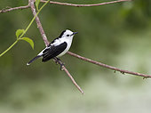 Pied Water-tyrant (Fluvicola pica), Antioquia, Colombia, March