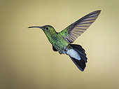 White-vented plumeleteer (Chalybura buffonii), hovering, Colombia, March