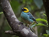 Saffron-crowned Tanager (Tangara xanthocephala), Cauca Valley, Colombia, February