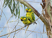 Yellow-eared Parrot (Ognorhynchus icterotis), breeding pair mating, Tolima, Colombia, february