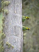 Yellow-eared Parrot (Ognorhynchus icterotis), breeding pair, Tolima, Colombia, february