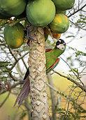 Chestnut-fronted macaw (Ara severus), feeding on papaya fruit, Antioquia, Colombia, March