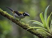Black-winged saltator (Saltator atripennis), Cauca Valley, Colombia, February