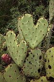 Heart-shaped prickly pear, Opuntia spp.