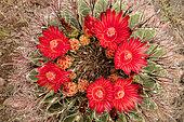 Fishhook barrel cactus (Ferocactus wislizeni), Arizona
