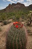 Fishhook barrel cactus (Ferocactus wislizeni), Tucson mountains, Arizona