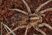 Wolf spider, Family Lycosidae, female with young on back, Arizona, captive