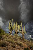 Saguaros (Carnegiea gigantea) and storm clouds, Arizona