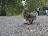 Grey Squirrel (Sciurus carolinensis) in London Park