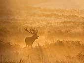 Red Deer (Cervus elaphus) stag during rut, Richmond Park, London, October