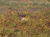 Red Deer (Cervus elaphus) stag during rut Richmond Park London October