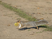 Grey Squirrel (Sciurus carolinensis) collecting Sweet Chestnuts to cache for winter Richmond Park London October