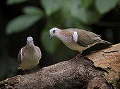 Caribbean dove (Leptotila jamaicensis), Montego Bay, Jamaica