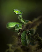 Side-striped Pit Viper (Bothriechis lateralis), Costa Rica, October
