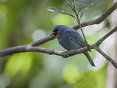 Orangequit (Euneornis campestris), Montego Bay, Jamaica, February