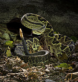Central American Rattlesnake (Crotalus simus), in threatening posture, Costa Rica, October