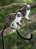 Geoffroy's Tamarin (Saguinus geoffroyi), adult pair, Gamboa, Panama, November