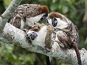 Geoffroy's Tamarin (Saguinus geoffroyi), family group in mutual grooming, Gamboa, Panama
