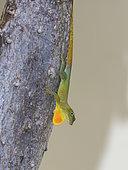 Jamaican Turquoise Anole (Anolis grahami), Jamaica, February