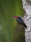 Golden-naped Woodpecker (Melanerpes chrysauchen), Pital, Costa Rica, October