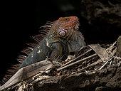 Green iguana (Iguana iguana), male in red-head breeding colors, Tarcoles river, Costa Rica,October